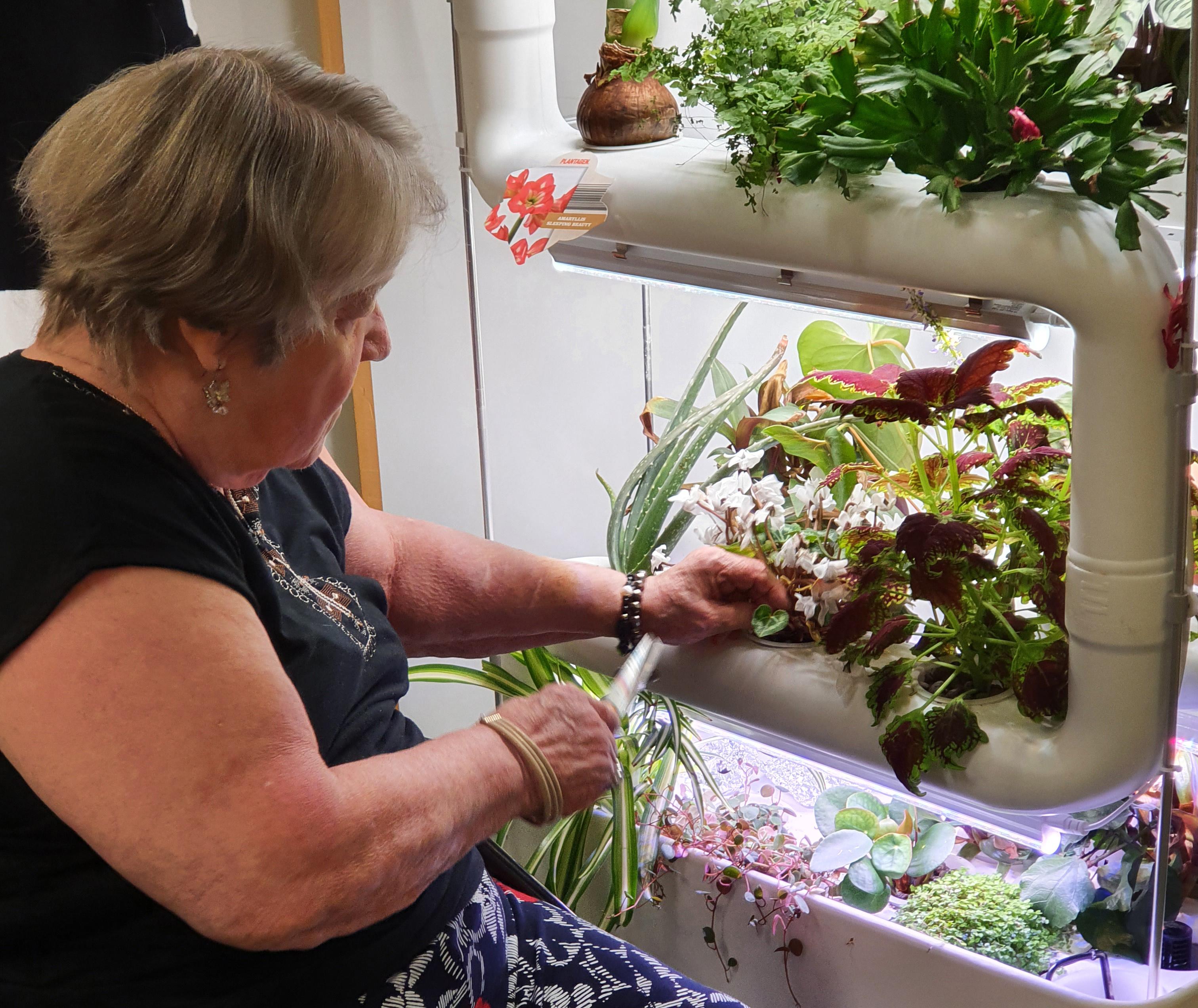 iäkäs nainen hoitaa sisäpuutarhan kasveja